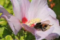 Bourdon sur hibiscus.. Source : http://data.abuledu.org/URI/59da7c65-bourdon-sur-hibiscus-
