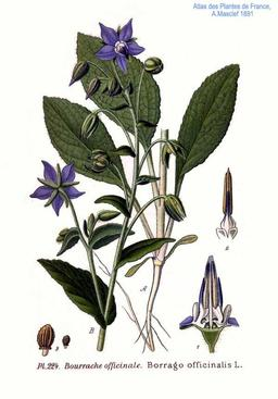 Bourrache officinale. Source : http://data.abuledu.org/URI/505cb6d3-bourrache-officinale