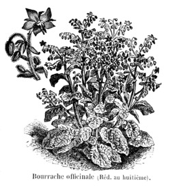 Bourrache officinale. Source : http://data.abuledu.org/URI/544f35d9-bourrache-officinale