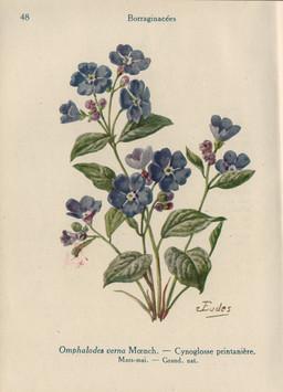 Bourrache printanière. Source : http://data.abuledu.org/URI/53ad4293-bourrache-printaniere