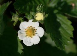 Boutons et fleur de fraisier des bois. Source : http://data.abuledu.org/URI/518a870c-boutons-et-fleur-de-fraisier-des-bois