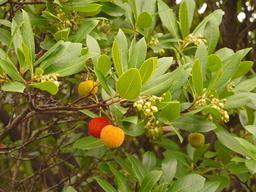 Branche d'arbousier en automne. Source : http://data.abuledu.org/URI/518b59f5-branche-d-arbousier-en-automne