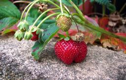Branche de fraisier. Source : http://data.abuledu.org/URI/534bacf6-branche-de-fraisier