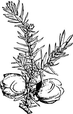 Branche de genévrier avec baies. Source : http://data.abuledu.org/URI/54077ea3-branche-de-genevrier-avec-baies