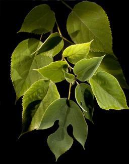 Branche de mûrier. Source : http://data.abuledu.org/URI/54149bd1-branche-de-murier
