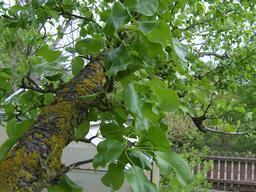 Branche de poirier. Source : http://data.abuledu.org/URI/504e4cca-branche-de-poirier
