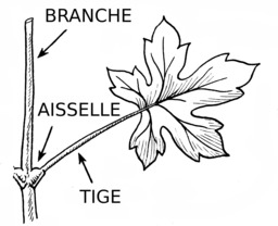 Branche, tige et feuille. Source : http://data.abuledu.org/URI/53b986d6-branche-tige-et-feuille