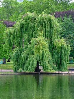Branches de saule pleureur. Source : http://data.abuledu.org/URI/501ed1df-branches-de-saule-pleureur