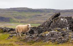 Brebis islandaise. Source : http://data.abuledu.org/URI/54cbec17-brebis-islandaise