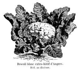 Brocoli blanc extra-hâtif d'Angers. Source : http://data.abuledu.org/URI/544f367f-brocoli-blanc-extra-hatif-d-angers