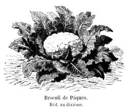 Brocoli de Pâques. Source : http://data.abuledu.org/URI/544f3784-brocoli-de-paques