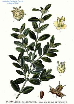 Buis toujours vert. Source : http://data.abuledu.org/URI/506e8a03-buis-toujours-vert