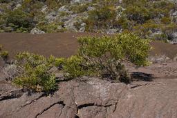 Buissons de tamarins des hauts. Source : http://data.abuledu.org/URI/521fa16e-buissons-de-tamarins-des-hauts-