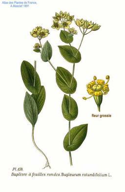 Buplèvre à feuilles rondes. Source : http://data.abuledu.org/URI/504fb0da-buplevre-a-feuilles-rondes