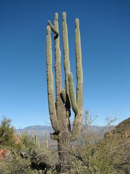 Cactus Saguaro. Source : http://data.abuledu.org/URI/5026d3b8-cactus-saguaro