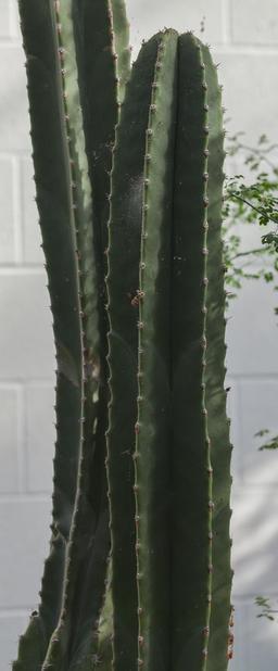 Cactus totem dans un Conservatoire Botanique. Source : http://data.abuledu.org/URI/54cbf428-cactus-totem-dans-un-conservatoire-botanique