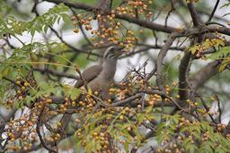 Calao de Gingi mangeant des fruits de lilas de Perse. Source : http://data.abuledu.org/URI/5223515e-calao-de-gingi-mangeant-des-fruits-de-lilas-de-perse