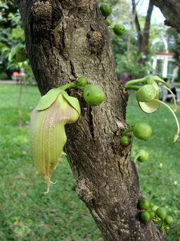 Calebassier avec fruits et fleur. Source : http://data.abuledu.org/URI/538118ea-calebassier-avec-fruits-et-fleur