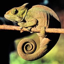 Caméléon de madagascar. Source : http://data.abuledu.org/URI/504efd9e-cameleon-de-madagascar