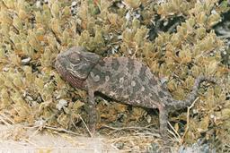 Caméléon de Namaqua dans le désert de Namibie. Source : http://data.abuledu.org/URI/537361c6-cameleon-de-namaqua-dans-le-desert-de-namibie