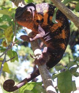 Caméléon panthère. Source : http://data.abuledu.org/URI/52d44226-cameleon-panthere