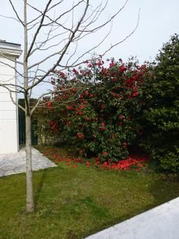 Camélia rouge. Source : http://data.abuledu.org/URI/56d33b92-camelia-rouge