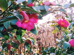 Camélias toulousains en février. Source : http://data.abuledu.org/URI/58a42712-camelias-toulousains-en-fevrier