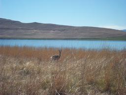 Camouflage de l'antilope Péléa. Source : http://data.abuledu.org/URI/516d43a0-camouflage-de-l-antilope-pelea