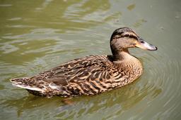 Canard Colvert femelle. Source : http://data.abuledu.org/URI/54fe91b1-canard-colvert-femelle