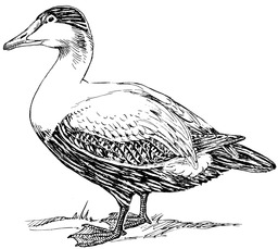 Canard eider. Source : http://data.abuledu.org/URI/53ea04a1-canard-eider