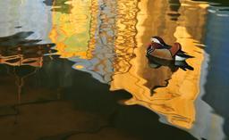 Canard mandarin. Source : http://data.abuledu.org/URI/564cd53d-canard-mandarin-