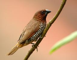 Capucin damier en Inde. Source : http://data.abuledu.org/URI/55060155-capucin-damier-en-inde