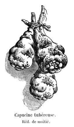 Capucine tubéreuse. Source : http://data.abuledu.org/URI/544f4ad0-capucine-tubereuse