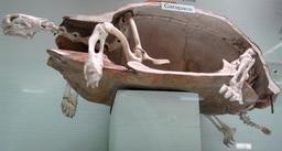 Carapace et squelette de tortue. Source : http://data.abuledu.org/URI/53528565-carapace-et-squelette-de-tortue