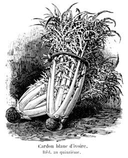 Cardon blanc d'ivoire. Source : http://data.abuledu.org/URI/544f500e-cardon-blanc-d-ivoire