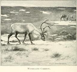Caribou. Source : http://data.abuledu.org/URI/587fe3e8-caribou