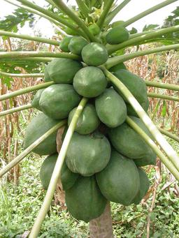 Carica papaya encore vertes. Source : http://data.abuledu.org/URI/5489f7a1-carica-papaya-encore-vertes