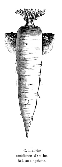 Carotte blanche améliorée d'Orthe. Source : http://data.abuledu.org/URI/544f517b-carotte-blanche-amelioree-d-orthe