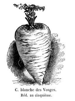 Carotte blanche des Vosges. Source : http://data.abuledu.org/URI/544f5cb4-carotte-blanche-des-vosges