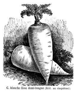 Carotte blanche lisse demi-longue. Source : http://data.abuledu.org/URI/544f5d02-carotte-blanche-lisse-demi-longue