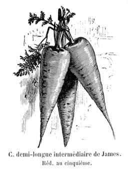 Carotte demi-longue intermédiaire de James. Source : http://data.abuledu.org/URI/544f5da1-carotte-demi-longue-intermediaire-de-james