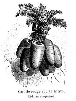 Carotte rouge courte hâtive Vilmorin-Andrieux. Source : http://data.abuledu.org/URI/544f65d5-carotte-rouge-courte-hative-vilmorin-andrieux