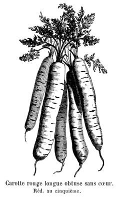 Carotte rouge longue obtuse sans cœur avec fanes. Source : http://data.abuledu.org/URI/544f6674-carotte-rouge-longue-obtuse-sans-coeur-avec-fanes