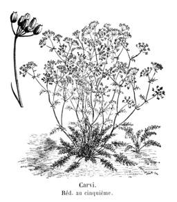 Carvi ou cumin des prés. Source : http://data.abuledu.org/URI/5451418b-carvi-ou-cumin-des-pres