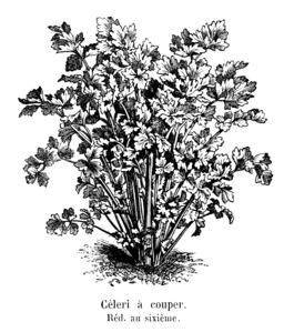 Céleri à couper Vilmorin-Andrieux. Source : http://data.abuledu.org/URI/546da7ae-celeri-a-couper-vilmorin-andrieux