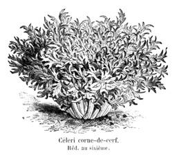 Céleri corne-de-cerf. Source : http://data.abuledu.org/URI/546d8eb7-celeri-corne-de-cerf