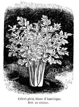 Céleri plein blanc d'Amérique. Source : http://data.abuledu.org/URI/546d94d3-celeri-plein-blanc-d-amerique