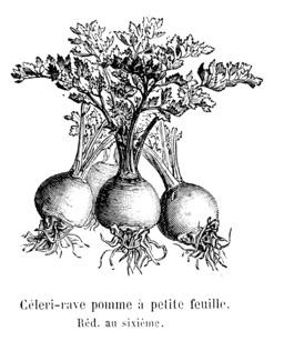 Céleri-rave pomme à petite feuille. Source : http://data.abuledu.org/URI/546dbab8-celeri-rave-pomme-a-petite-feuille