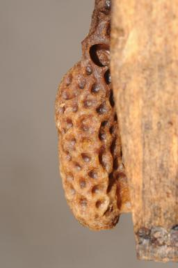 Cellule royale d'abeille. Source : http://data.abuledu.org/URI/51e06cba-cellule-royale-d-abeille