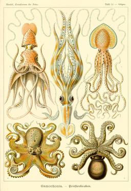 Céphalopodes. Source : http://data.abuledu.org/URI/52cd9c95-cephalopodes
